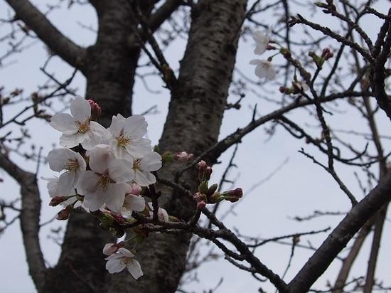 someiyoshino_1.jpg