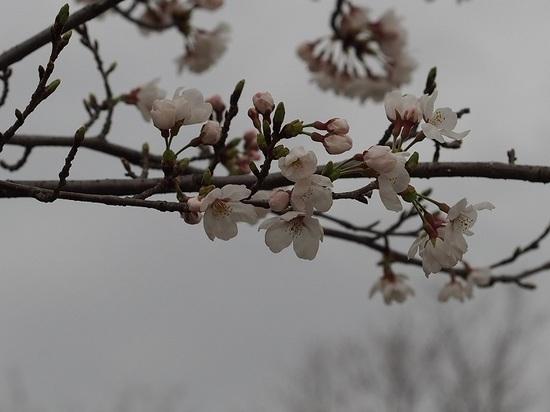 someiyosino_9.jpg